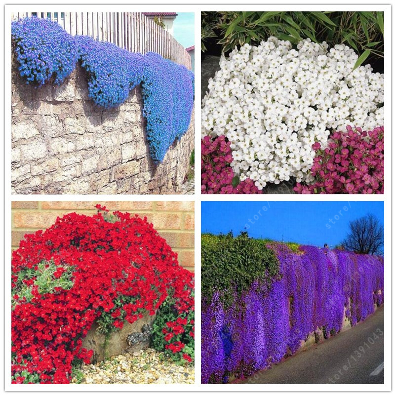 100pcs/bag Creeping Thyme Seeds or Blue ROCK CRESS seeds-Perennial Ground cover Exotic seeds flower seeds home garden plant