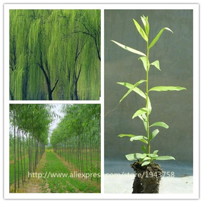100pcs beautiful tree Seeds Fresh Giant garden decoration green willow tree Seeds for Home Garden Plant family bonsai