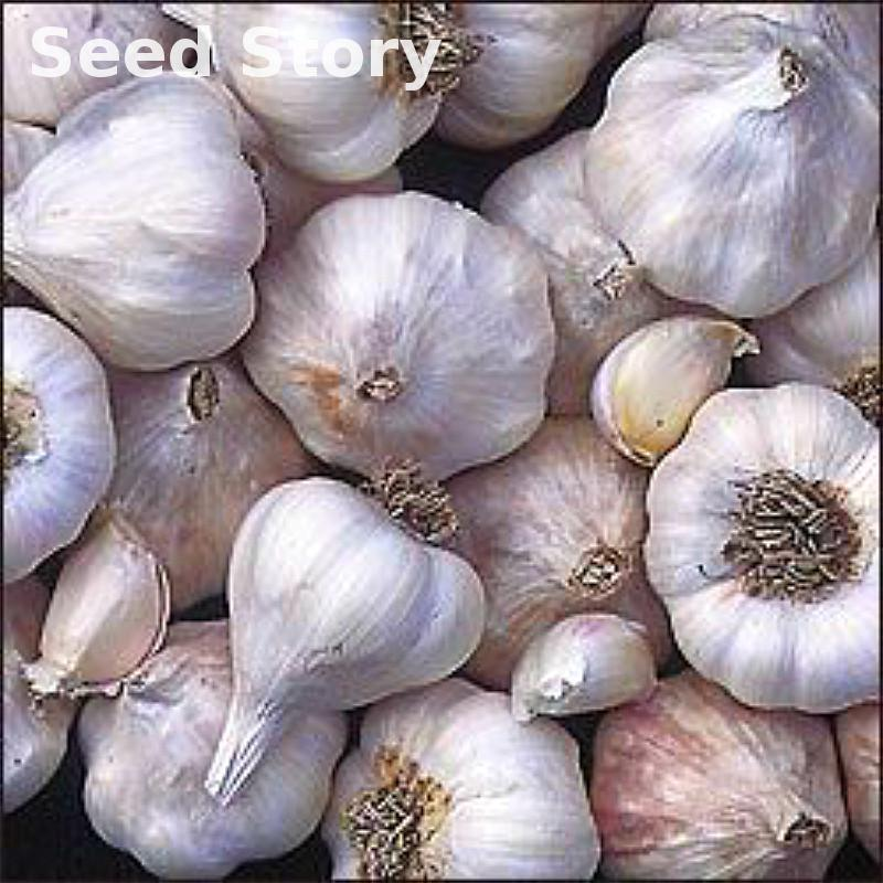 100pcs Garlic Seeds Purple Healthy Bonsai Seeds Green Vegetable Plants Seed For Home * Garden Decoration And Edible Diy Plant