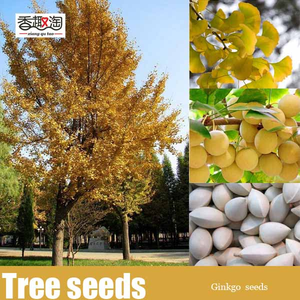 New Home Garden Plant 5pcs Ginkgo Biloba Seeds, maidenhair tree Seeds Free Shipping