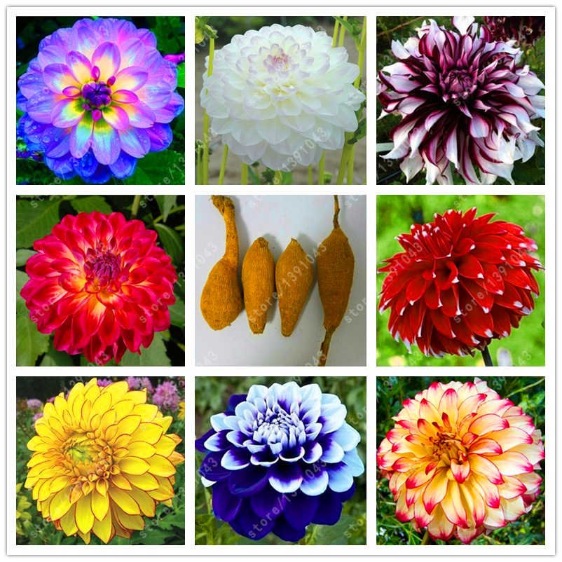 Good quality dahlia bulbs, Gorgeous dahlia flower for home garden bonsai flower bulbs, Bulbous Root perennial plant - 1 pcs