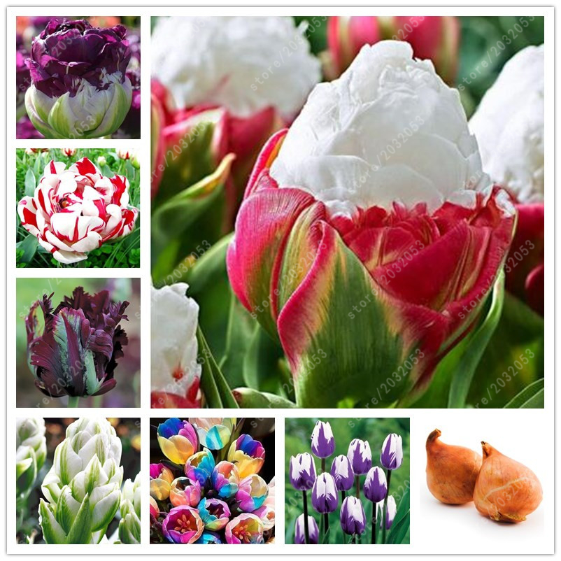 True tulip bulbs, Variety Fresh bulbs tulips, flower bulbs high quality Bulbous Root home garden plant (Not Tulip Seeds) - 2 pcs