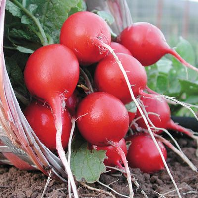 400 Cherry Belle Radish Seeds 100% Real seed Delicious DIY Home Garden Plant