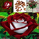 New 15 pcs/Bag Red & White Osiria Ruby Rose Flower Seeds Home Garden Plant Seeds