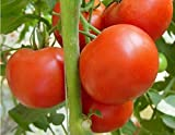 Creative Farmer Seeds For Home Garden Best Tomato Variety F1 -30 Seeds