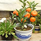 10Pcs Edible Fruit Mandarin Citrus Orange Bonsai Tree Seeds Plants Home GardenORANGE02