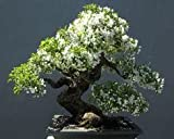 Creative Farmerbonsai Suitable Plant Water Jasmine Bonsai Suitable Tree Seeds For Home Depot