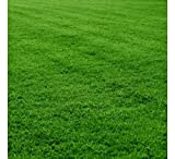 Seedscare India Lawn Seeds - Bermuda Grass Seeds - 2000 Seeds for Home Garden
