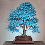 20Pcs Blue Japanese Maple Tree Bonsai Seeds Balcony Plants For Home Garden Plant Decor Air Purfication Supplies
