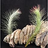 Glass Home Gardens - Funckiana Singles - Beautiful Air Plant At a Great Price