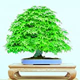 Unique green Japanese maple seeds mini bonsai seeds bonsai tree seeds Maple Seeds Home Garden bonsai 10PCS